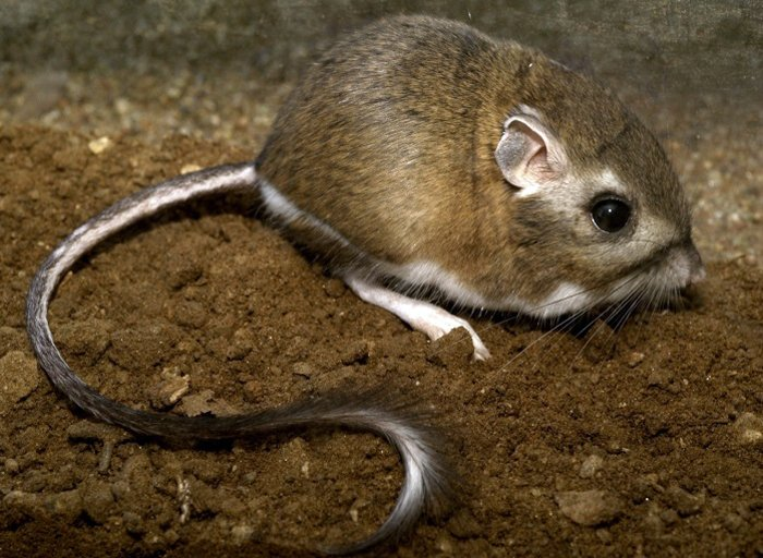 Stephens Kangaroo Rat, (US FWS)
