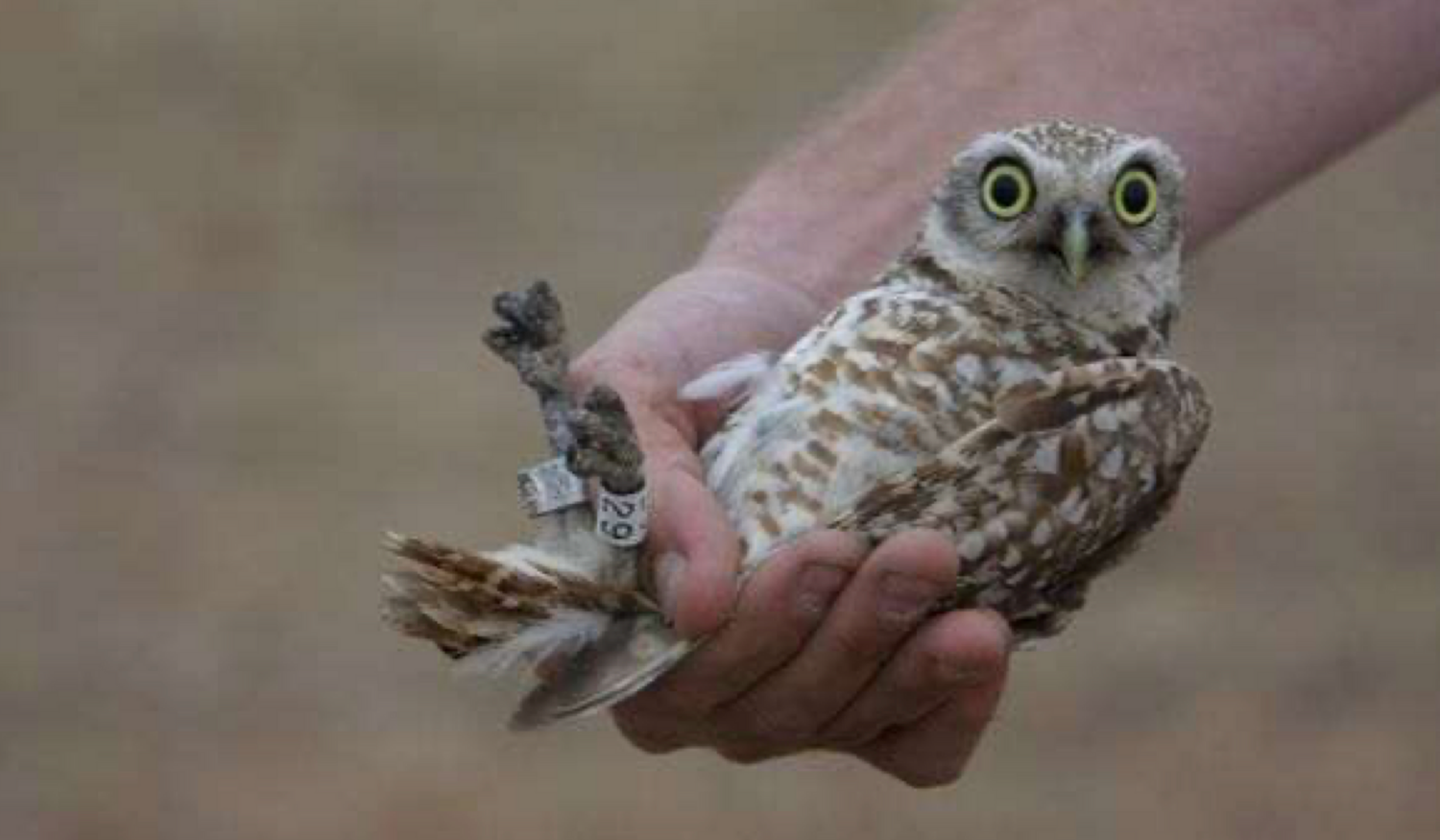 Young burrowing owl looks surprised as its handled for inspection
